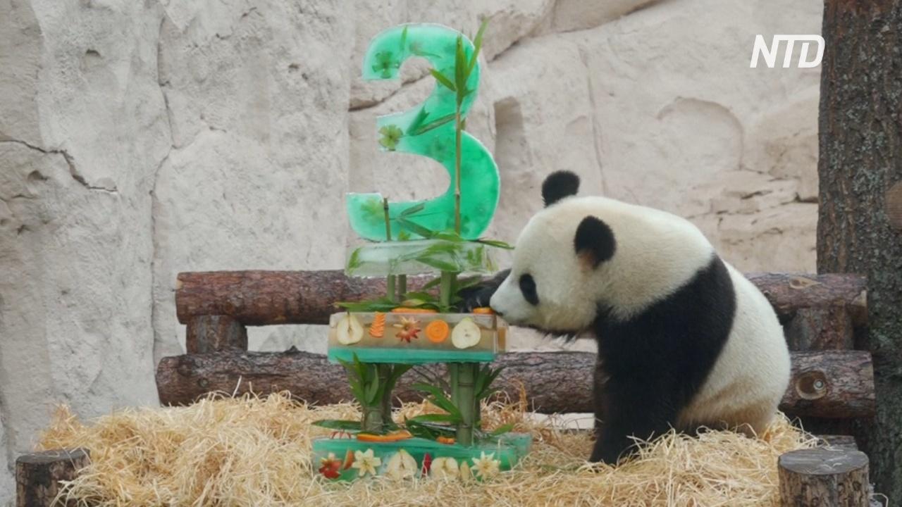 Панды-новосёлы отметили день рождения в Московском зоопарке