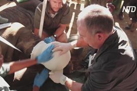 В ЮАР ветеринары делают всё, чтобы спасти раненого редкого носорога