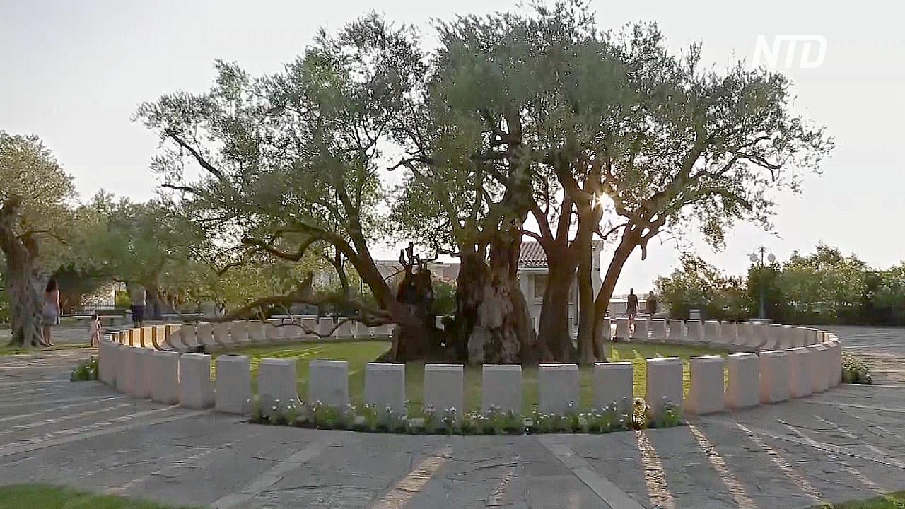 Знаменитой черногорской Старой Оливе уже более 2200 лет