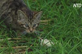 В Шотландии надеются спасти редких лесных кошек