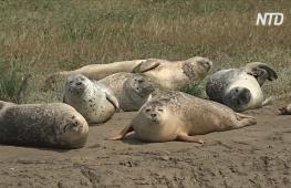 В устье Темзы провели «перепись» тюленей