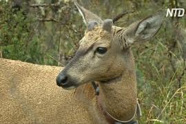 Чилийские биологи на шаг ближе к спасению южноандских оленей