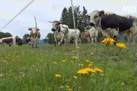 Осторожно, коровы: немецкие фермеры ставят таблички для туристов