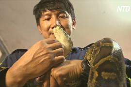 Змей голыми руками ловит пожарный из Бангкока