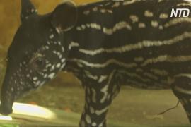 Краснокнижный малайский тапир родился в зоопарке Антверпена