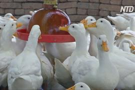 Птицефермеры Китая процветают на фоне кризиса со свининой