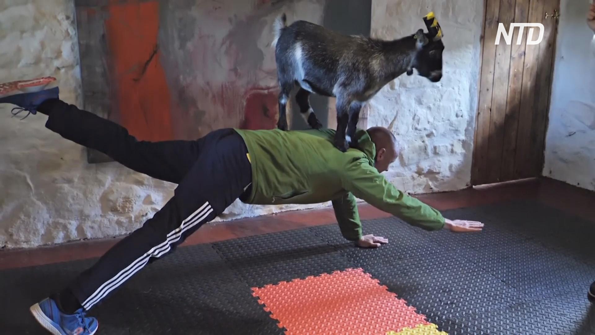 Пилатес и карликовые козочки: как тренировки превращаются в веселье