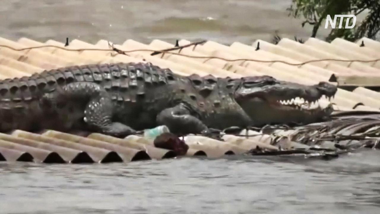 Наводнение в Индии: на крышу дома забрался огромный крокодил