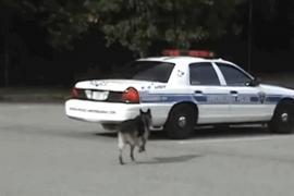 Немецкая овчарка из подразделения К-9 восхищает полицейских