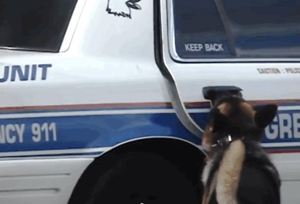 2019 08 27 134453 - Немецкая овчарка из подразделения К-9 восхищает полицейских