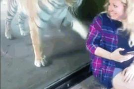 Как тигр в зоопарке реагирует на беременную женщину