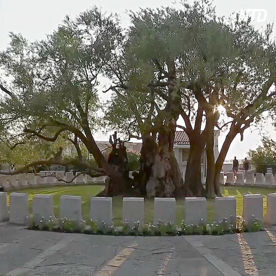 Оливковое дерево, которому уже более 2200 лет