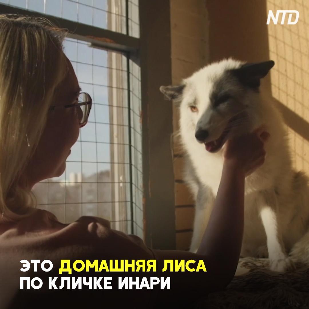 Как в Новосибирском институте вывели домашних лис