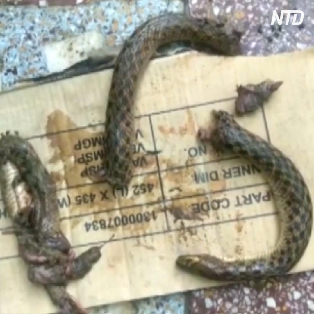 Пьяный индиец порвал зубами змею, которая его укусила