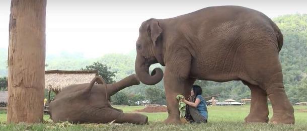 Novyj risunok 2 2 - Слониха заставила женщину петь колыбельную слонёнку