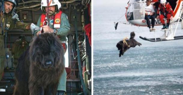 Ньюфаундленд бросается в воду, чтобы спасти человека