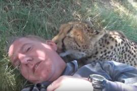 Самка гепарда вылизывает человека на лужайке