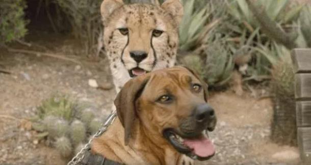 Zoopark San Diego - Собака и гепард – лучшие друзья!