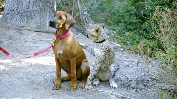 Zoopark v San Diego - Собака и гепард – лучшие друзья!