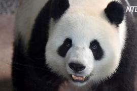 В Берлинском зоопарке панда Мэн Мэн родила двух детёнышей