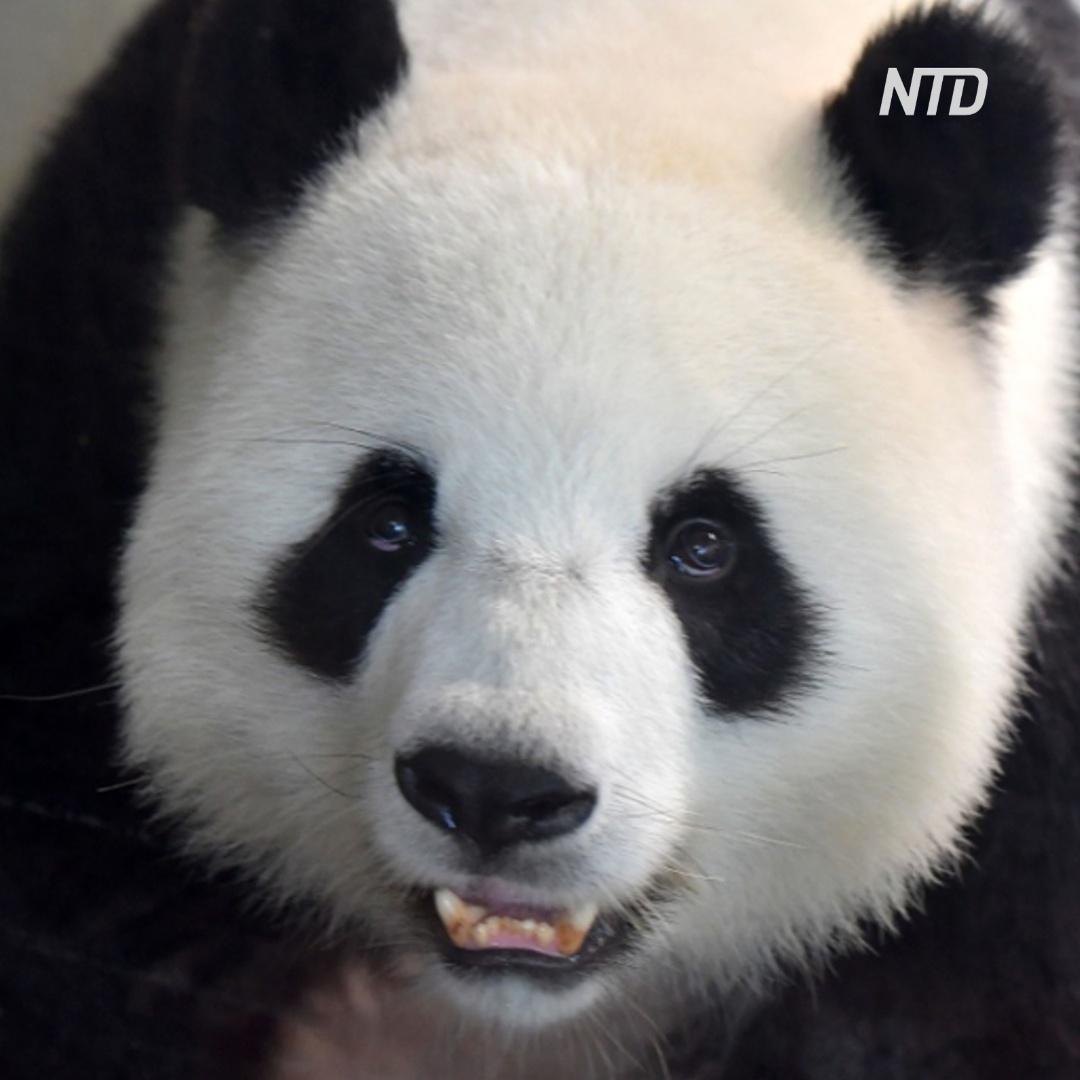 В Германии впервые родились детёныши панды