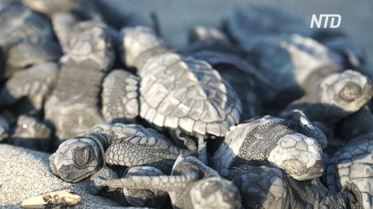 Редкие черепахи впервые гнездовались на городском пляже в Эквадоре