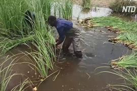 Как в Сенегале чужеродное растение превратили в «зелёное золото»