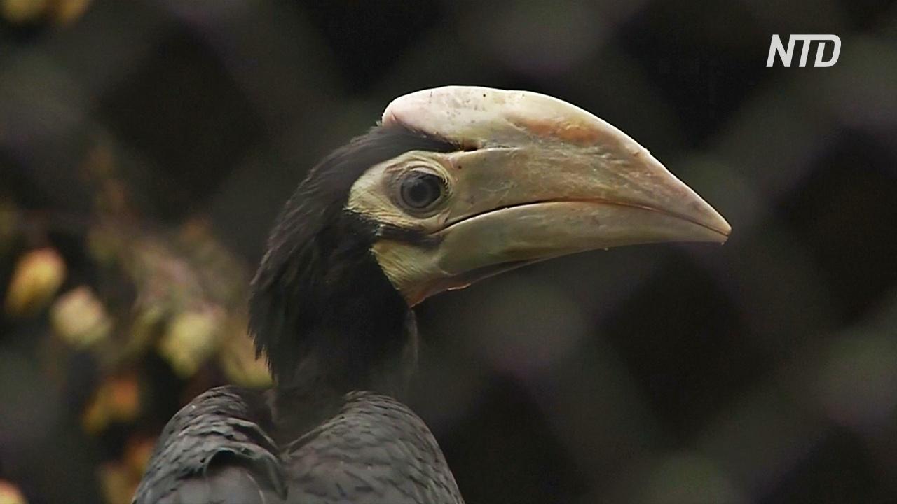В зоопарке Вроцлава дебютирует птенец редкой палаванской птицы-носорога