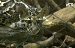 В зоопарке Вашингтона появились редкие дымчатые леопарды