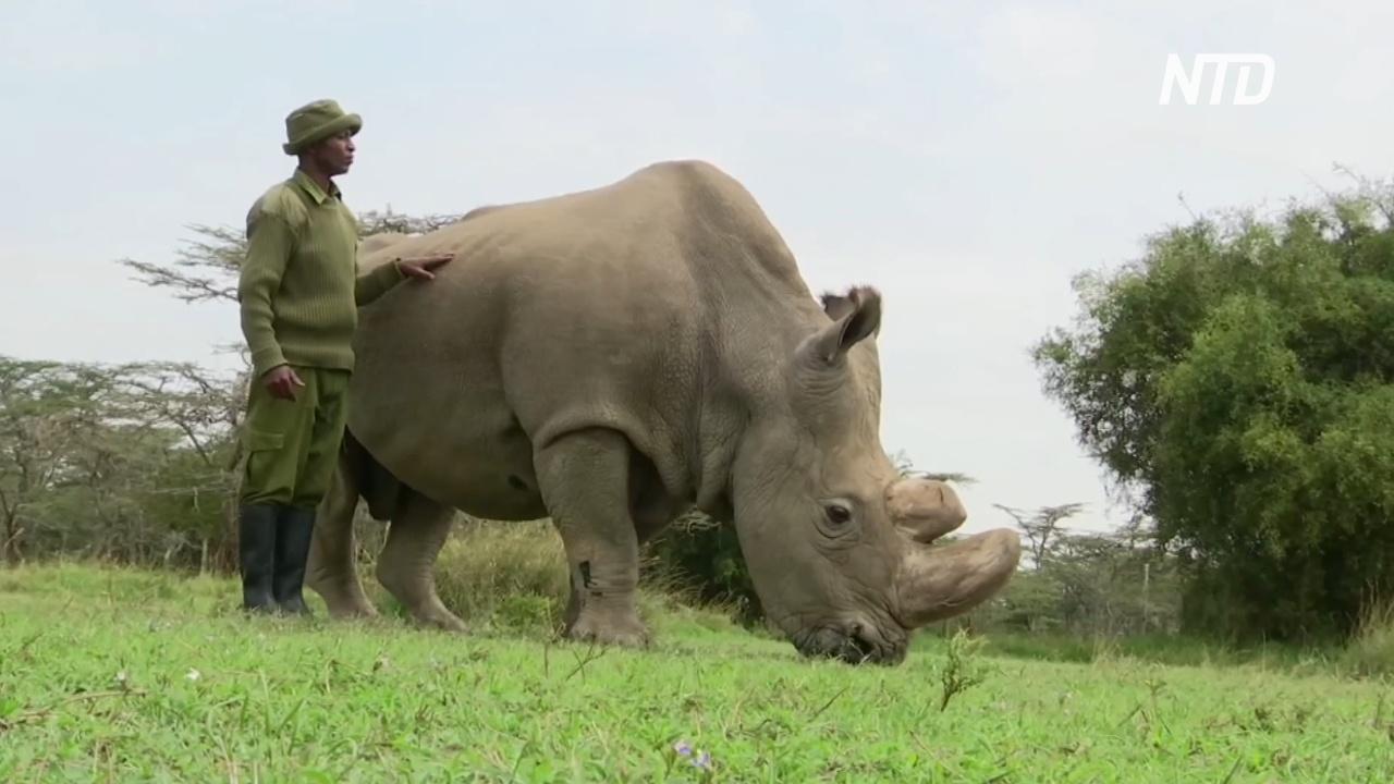 Два эмбриона помогут спасти подвид северных белых носорогов