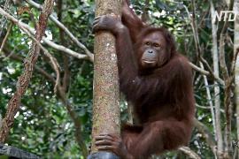 Перенос столицы Индонезии поставил под угрозу популяцию орангутанов