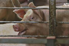 Африканскую чуму свиней впервые зафиксировали в Южной Корее