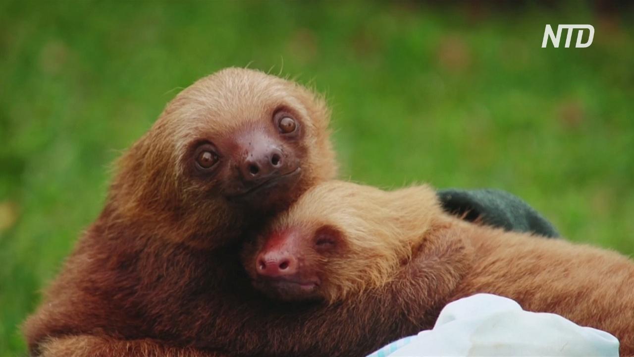 Приют в Коста-Рике уже 12 лет спасает раненых ленивцев