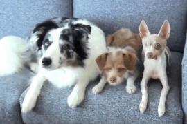 Женщина научила синхронным трюкам трёх собак. Забавное видео