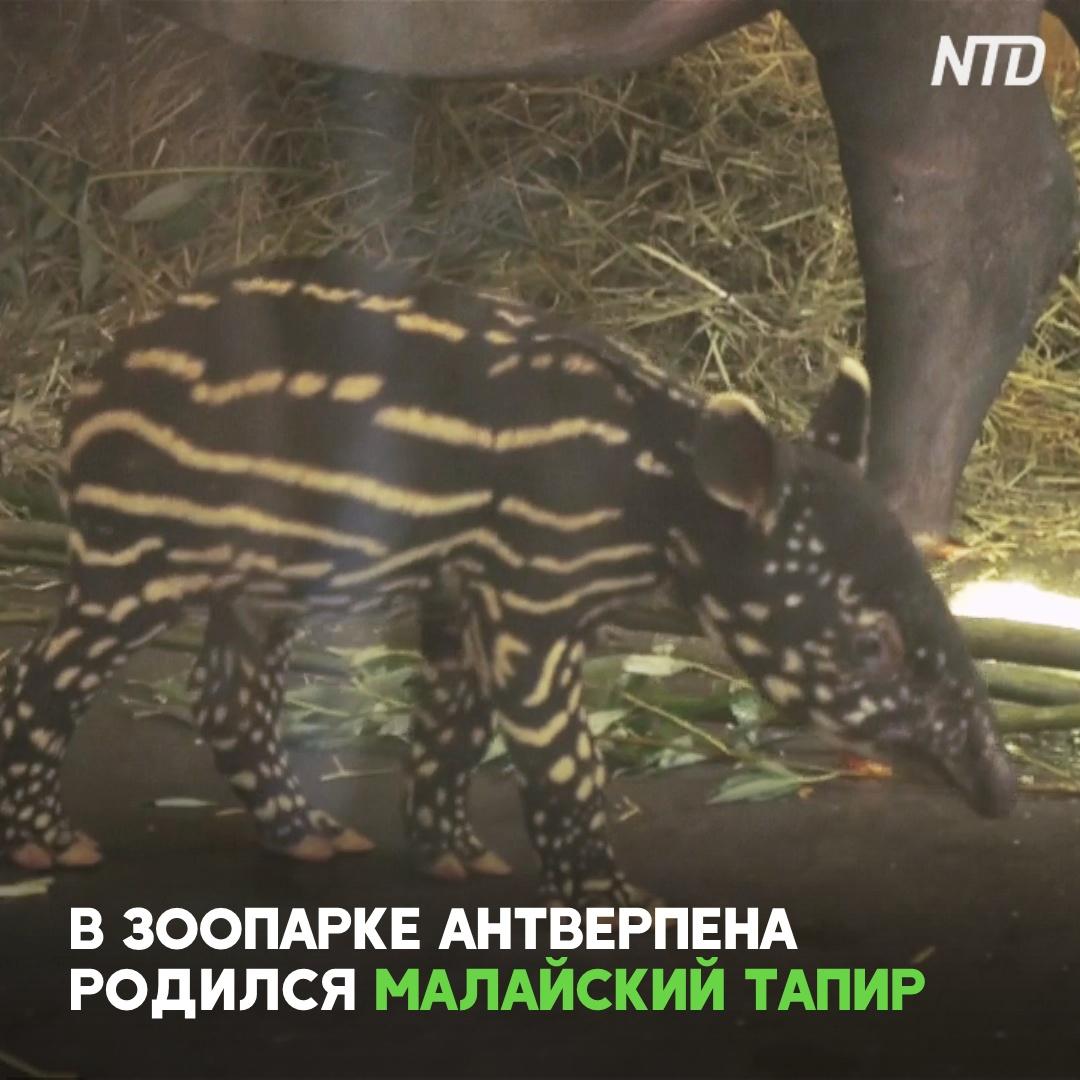 В зоопарке Бельгии показали новорождённого тапира из Красной книги