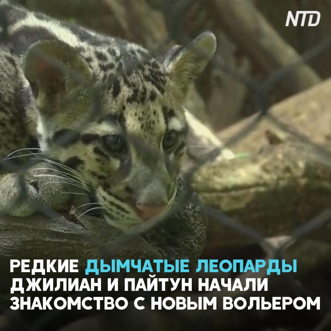 Редкие дымчатые леопарды впервые знакомятся с новым вольером