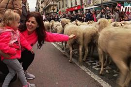 Как овец перегоняют на пастбища через Мадрид