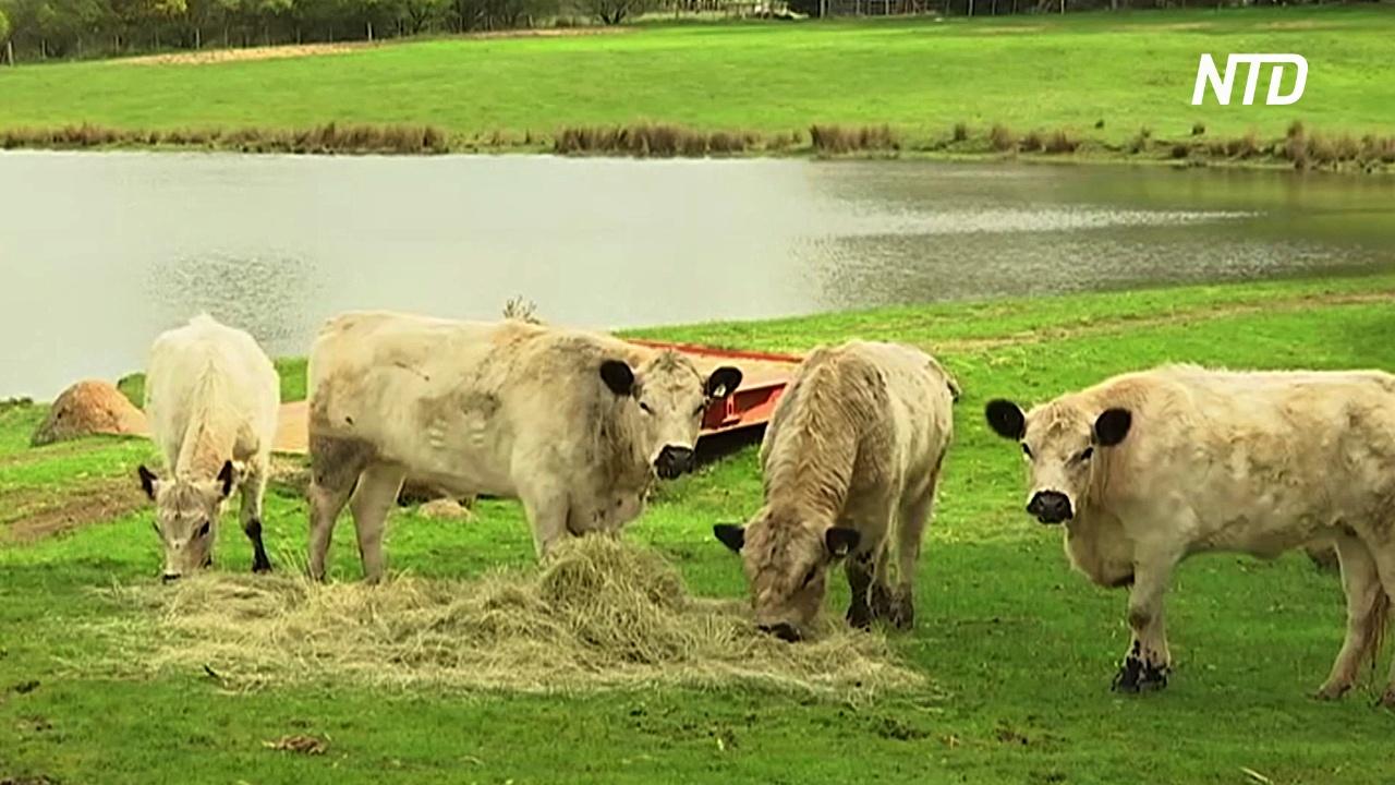 В Австралии спасают редкую породу коров, продавая её мясо