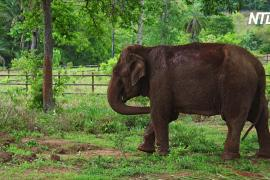Спасённую в Чили цирковую слониху перевезли в бразильский заповедник