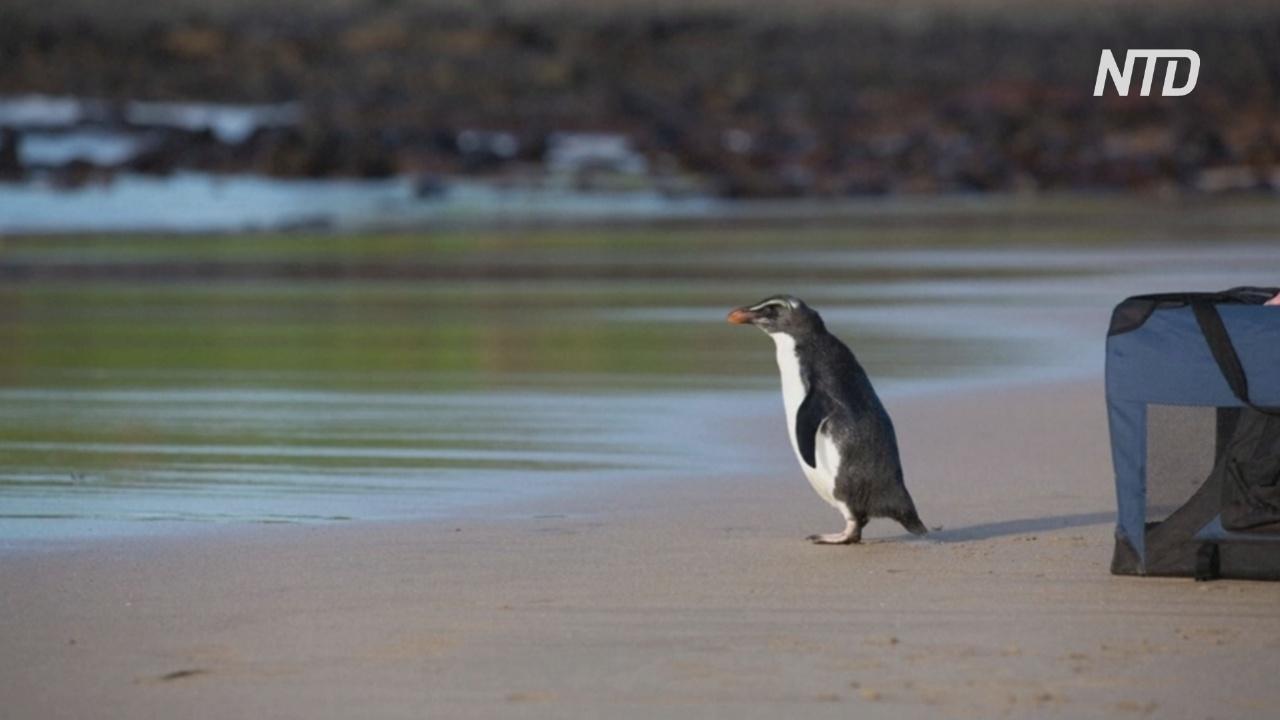 Спасённого пингвина, переплывшего Тасманово море, отпустили на волю
