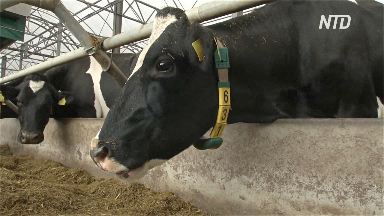 На британской ферме коров «подключили» к сети 5G