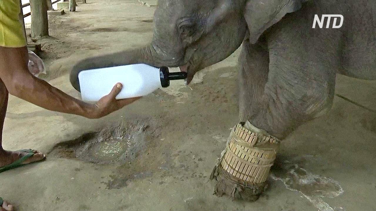 В Мьянме помогают выжить осиротевшим и раненым слонятам