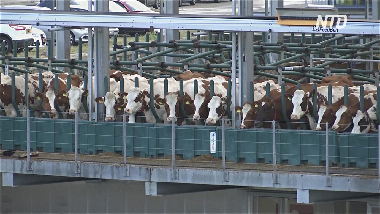 Плавающие коровы: в Роттердаме построили ферму на воде