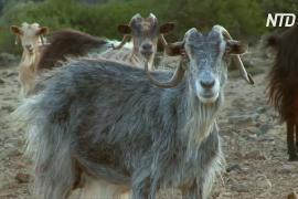 Козы грозятся «съесть» целый греческий остров