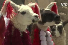 Как в Андах добывают самую дорогую в мире шерсть викуний