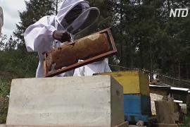 Цены на мёд в Руанде растут, а пчёл становится меньше