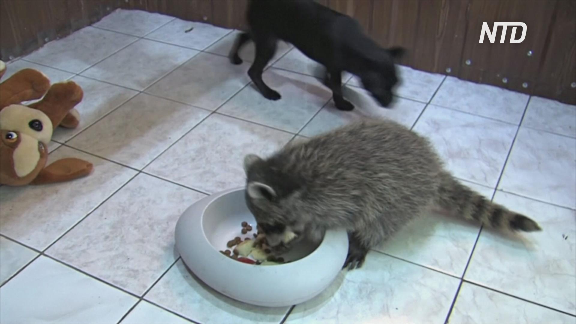 Друзья навек: енот и щенок стали одной семьёй в иркутском зоопарке