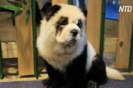 В китайском кафе появились собаки, перекрашенные в панд