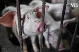 Эксперты: африканская чума свиней несёт глобальную угрозу