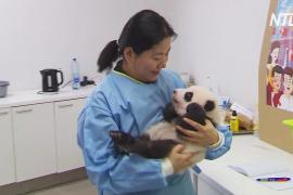 Бельгийский зоопарк призвал выбрать имена для панд-близнецов